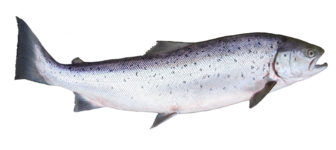 "Chinook ""King"" Salmon"