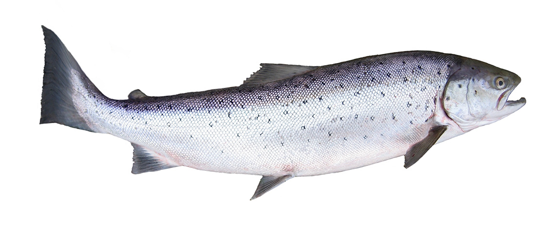 chinook-salmon